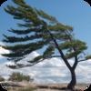 Wind - Pine Trees