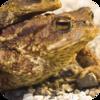 Ukrainian Frogs