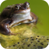 Corsican Frogs