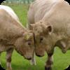 Patagonia Bulls