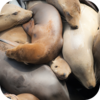 Pacific Sea Lions