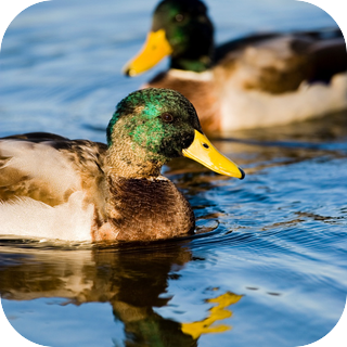Ducks in a Pond