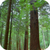 Dutch Pine Forest