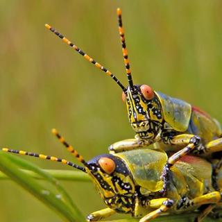 Acridid Grasshopper