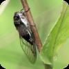 Amazon Cicada