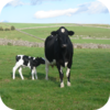 Mother Cow And Her Calves