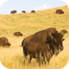 Buffalos In The Prairie