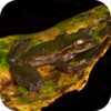 Australian Rainforest Frogs