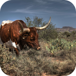 Arizona Desert Bulls