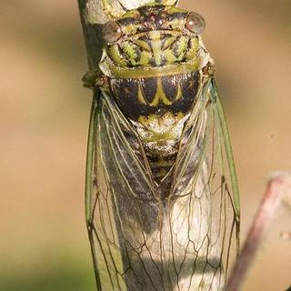 Cicada - Malaysia
