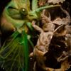 Southeast Asian Cicadas