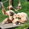 Gibbon Howl