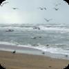Beach Seagulls