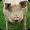 Pigs Grunting