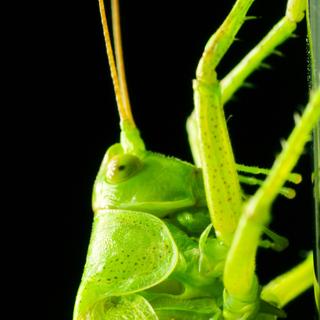 Alpine Crickets