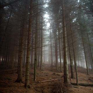 Spanish Pine Forest