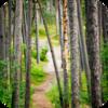 Spanish Pine Forest 2