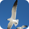Mediterranean Seagulls