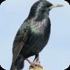 Backyard Starlings