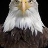 Bald Eagle Chirps