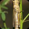Tennessee Locusts
