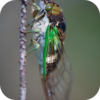 Akasaka Hie Jinja Cicadas