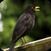 German Blackbird