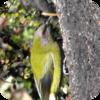 Australian Bellbirds