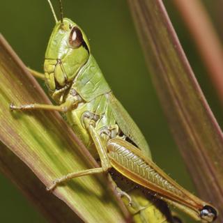 Suburban Crickets